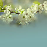 Blooming apple tree branch. blue sky background Royalty Free Stock Photos