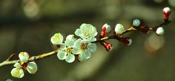 Blooming apple tree branch Stock Image