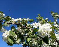 Apple tree blossoms. The month of Ðœay. royalty free stock image