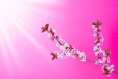 Blooming apple tree branch on pink Royalty Free Stock Photography
