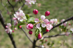 Blooming apple tree branch. Pink flowers Royalty Free Stock Photo