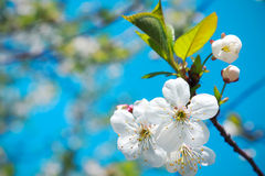 Blooming apple tree branch in spring over blue sky Stock Photos