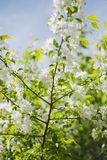 Blooming apple tree branch Royalty Free Stock Image