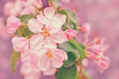 Blooming apple tree branch Stock Images