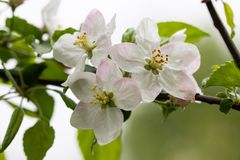 Blooming apple tree branch, white flowers of apple tree.  royalty free stock photos