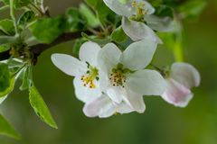 Blooming apple tree branch, white flowers of apple tree.  royalty free stock photo
