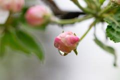 Blooming apple tree branch, white flowers of apple tree.  stock image
