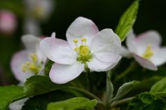 Blooming apple tree branch, white flowers of apple tree.  royalty free stock photography