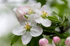 Blooming apple tree branch, white flowers of apple tree.  stock photo