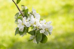 Blooming apple tree, branch with white loaves with delicate thin beautiful flowers of apple with leaves stamens. A blooming apple tree, a branch with white stock photo
