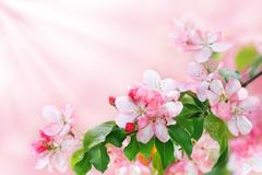 Blooming apple tree branch with white and pink flowers and green leaves on blurred background close up, beautiful spring cherry stock image