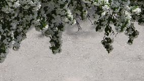 Blooming apple tree branches above gray asphalt surface. Lot of white flowers and some green leaves moving on the wind. Natural beautiful background with place stock video footage
