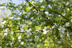 Blooming apple tree branches background Stock Images