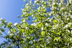 Blooming apple tree branches background Royalty Free Stock Photography