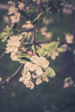 Blooming apple tree branches Stock Photography