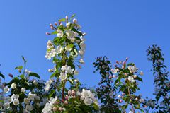 Blooming apple tree. Branches with beautiful white flowers royalty free stock photos