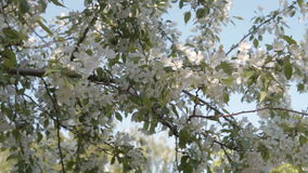 Blooming apple tree. Apple tree branches in blossom. Spring time stock footage