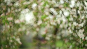 Blooming apple-tree branches. In rainy day stock footage