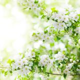 Blooming apple tree branches, white flowers on green leaves blurred bokeh background close up, spring cherry sakura blossom royalty free stock photography