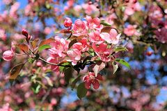 Blooming apple tree on a bright spring day royalty free stock photo