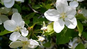 Blooming apple tree and bumblebee. Blooming apple tree and bumblebee collects nectar stock video footage