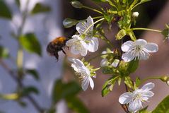 Blooming apple-tree and a bumblebee. Blooming apple-tree and a hungry bumblebee Royalty Free Stock Photography