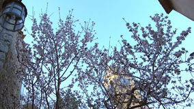 Blooming apple tree in Cannes stock video