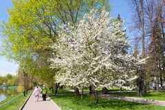 Blooming apple tree in Catherine Park Stock Photos