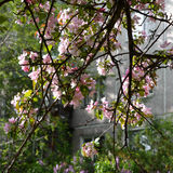 Blooming apple tree in city greening. Branches with beautiful flowers Royalty Free Stock Photos