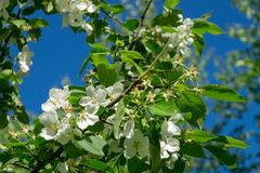 Blooming apple tree in a city park on a sunny spring day stock photography