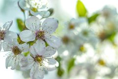 Blooming apple tree close-up in macro background royalty free stock photography