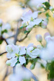 Blooming apple tree Stock Photography