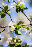 Blooming apple tree Stock Photo