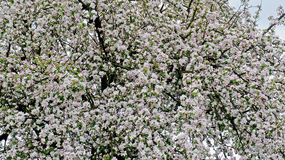 A blooming apple tree Royalty Free Stock Photos