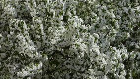 Blooming apple tree - closeup view stock video footage