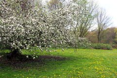 Blooming Apple Tree with Dandelions Stock Images