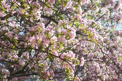 Blooming apple tree. Delicate pink blossom in spring royalty free stock images