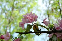 Blooming apple tree with delicate pink flowers on blurred background. With trees. Malus Niedzwetzkyana Royalty Free Stock Image