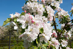 Blooming apple tree detail Stock Photography