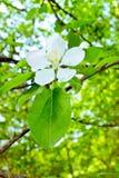 Blooming apple tree Stock Image