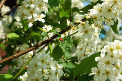 Blooming apple tree in early springtime Royalty Free Stock Images