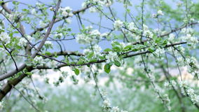 Blooming apple tree in evening time stock video