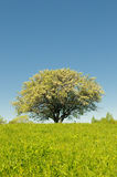 Blooming apple tree in field Stock Images