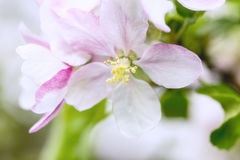 Blooming apple tree flowers. Close-up blooming apple tree flowers, pastel colors Stock Images