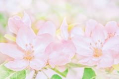 Blooming apple tree flowers, dreamy sunny background. Soft focus. Greeting gift card template. Pastel pink toned image.Spring stock photography