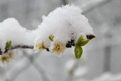 Blooming apple tree frozen in the snow Royalty Free Stock Photo