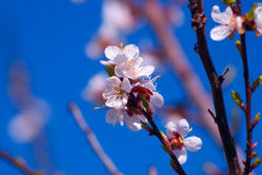 Blooming apple-tree Royalty Free Stock Photo