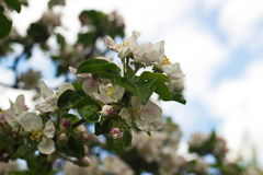 Blooming Apple tree. In the garden royalty free stock photos