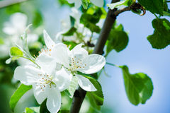 Blooming apple tree. In the garden Royalty Free Stock Image