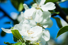 Blooming apple tree. In the garden Royalty Free Stock Photo